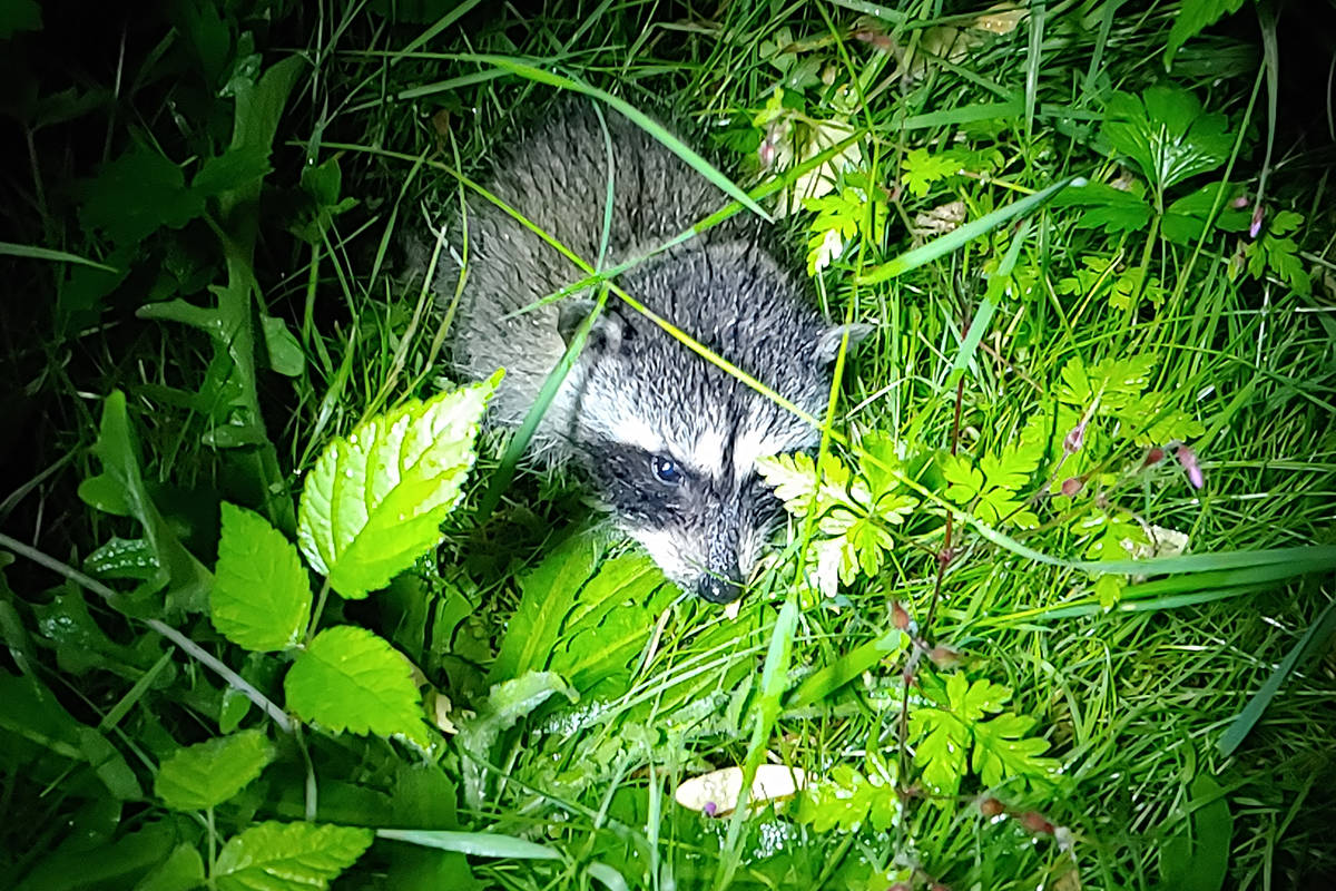 It's birthing season for raccoons, and homeowners may want to make sure their attics are well-sealed. (News Bulletin file)